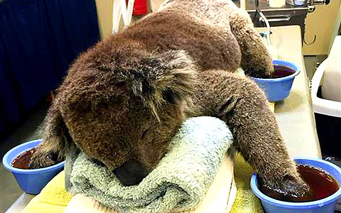 Young Koala Suffers Burns To All 4 Paws
